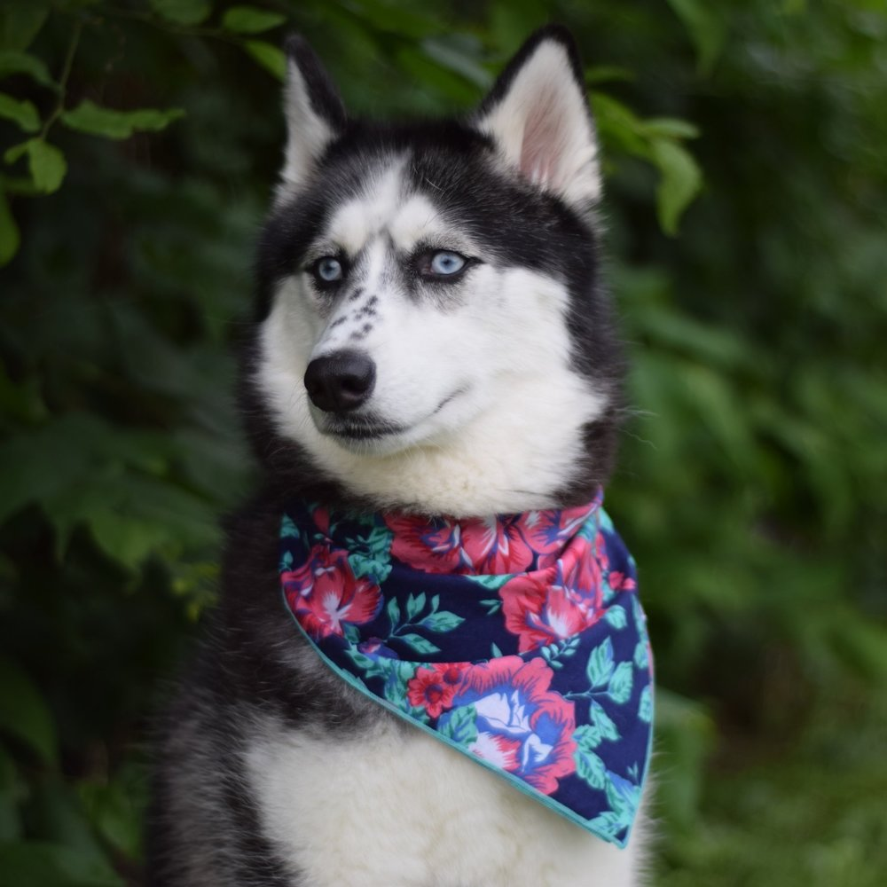 LUNA @heyimlunathehusky Birthday: 3/10/15 Breed: Siberian Husky Location: Maryland Favorite Activities: Anything that squeaks to annoy my parents, swimming, modeling
