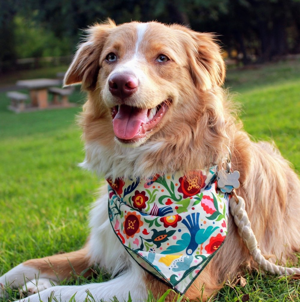 CARAMEL @caramelbaywillison Birthday: 11/2/16 Breed: Australian Shepherd Location: Oklahoma Favorite Activities: Running, exploring, spending time with my family