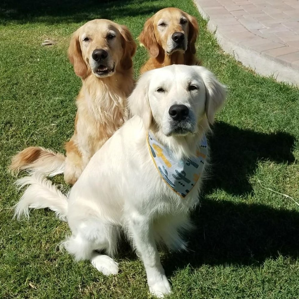MARLEY, SHILOH, OSO @marley_shiloh_oso_the_goldens Birthday: Marley & Shiloh 11/24/12, Oso 2/14/14 Breed: Golden Reriever Location: Arizona Favorite Activities: Chasing balls, squirrels, sun bathing, spa day in the pool