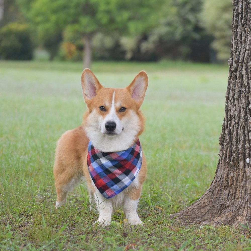 CHESNEY @chesneythecorgi Birthday: 1/30/16 Breed: Pembroke Welsh Corgi Location: Texas Favorite Activities: Swimming, playing soccer