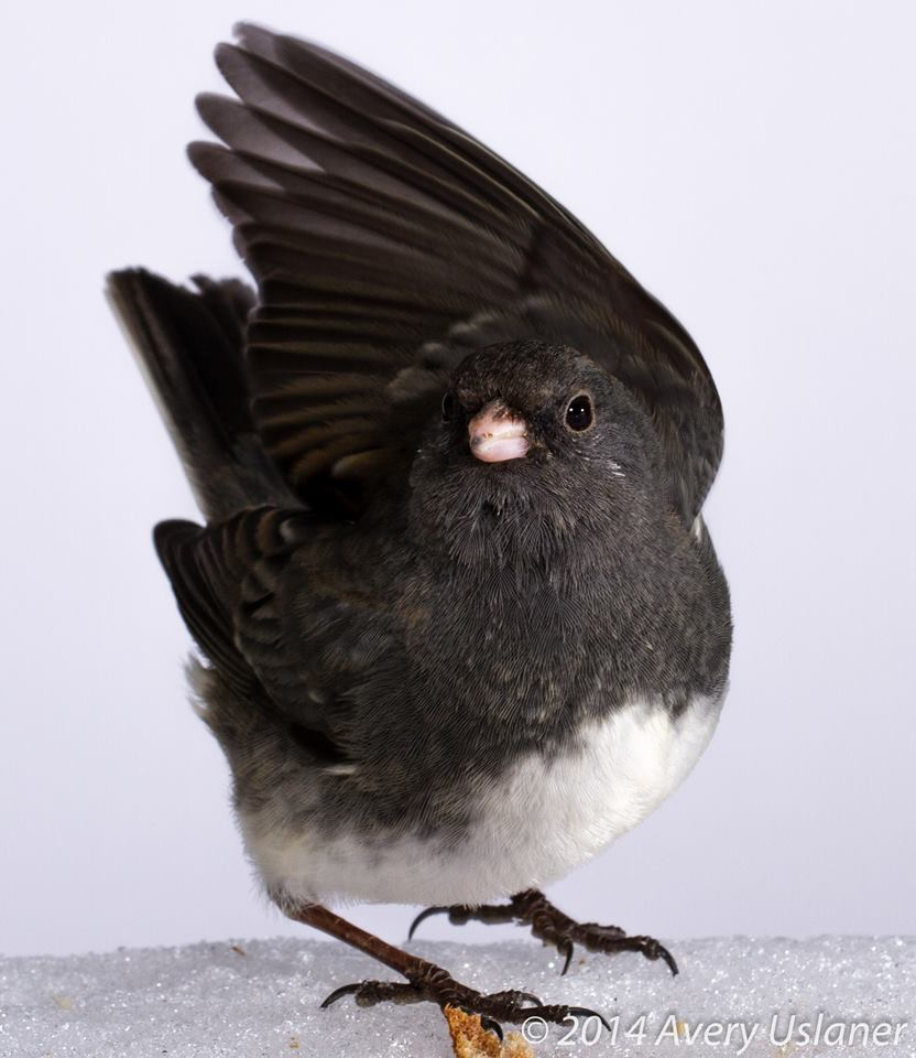 I'm a Junco with dark eyes!