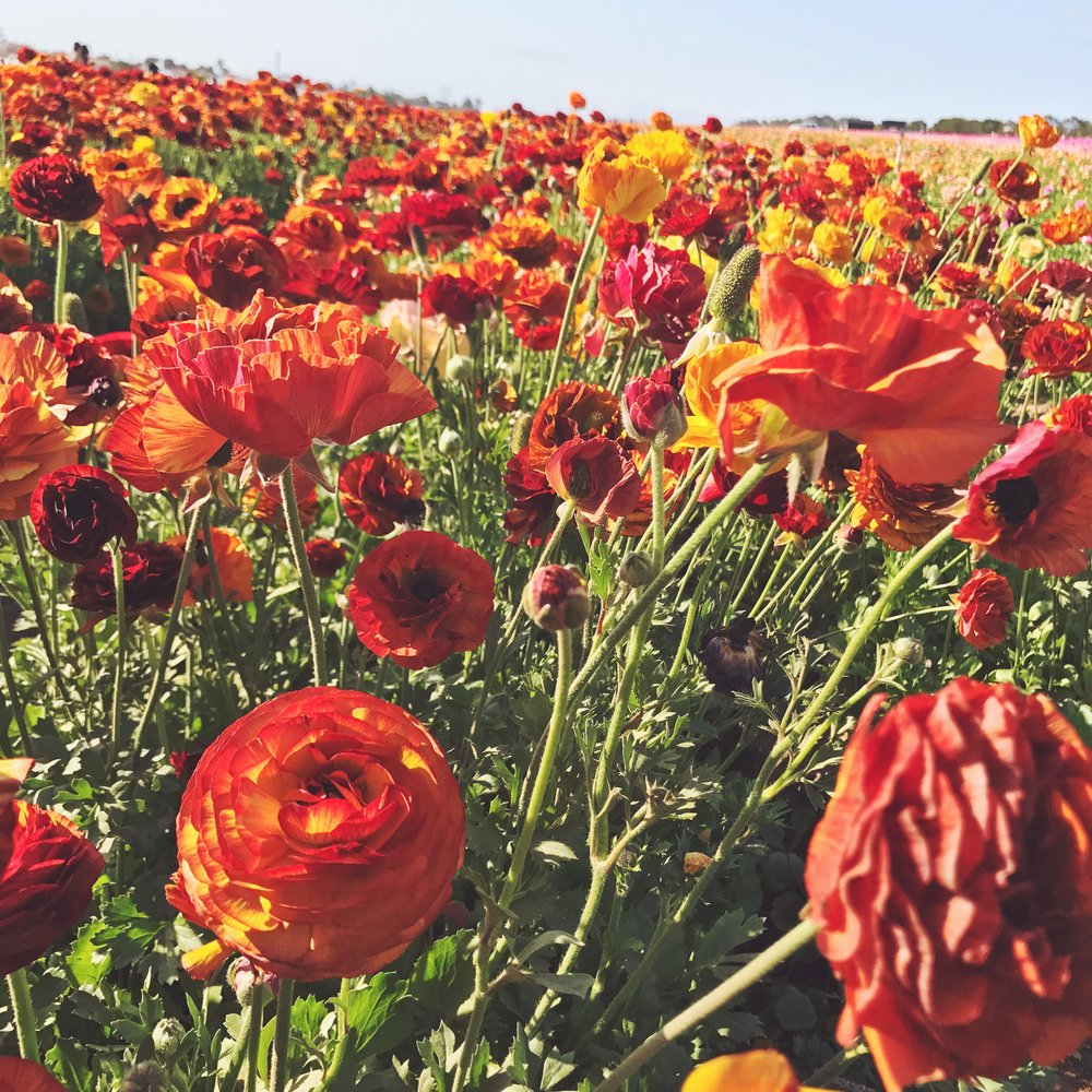 The Flower Fields // Survey? Why not... <3 // Greetings From Omaha // Anna Wells