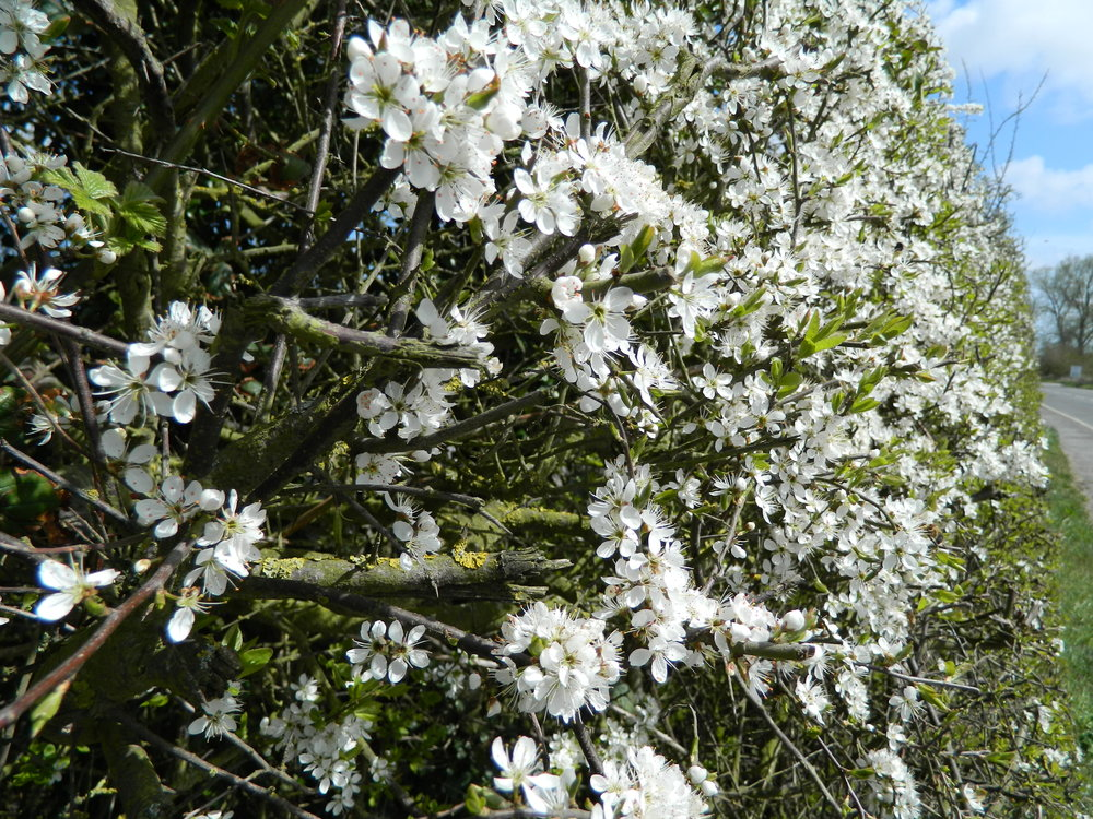 The Flowering Hawthorn Hedge.