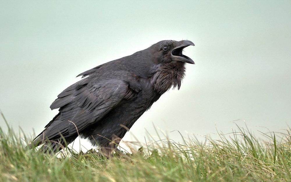 crow-01.jpg