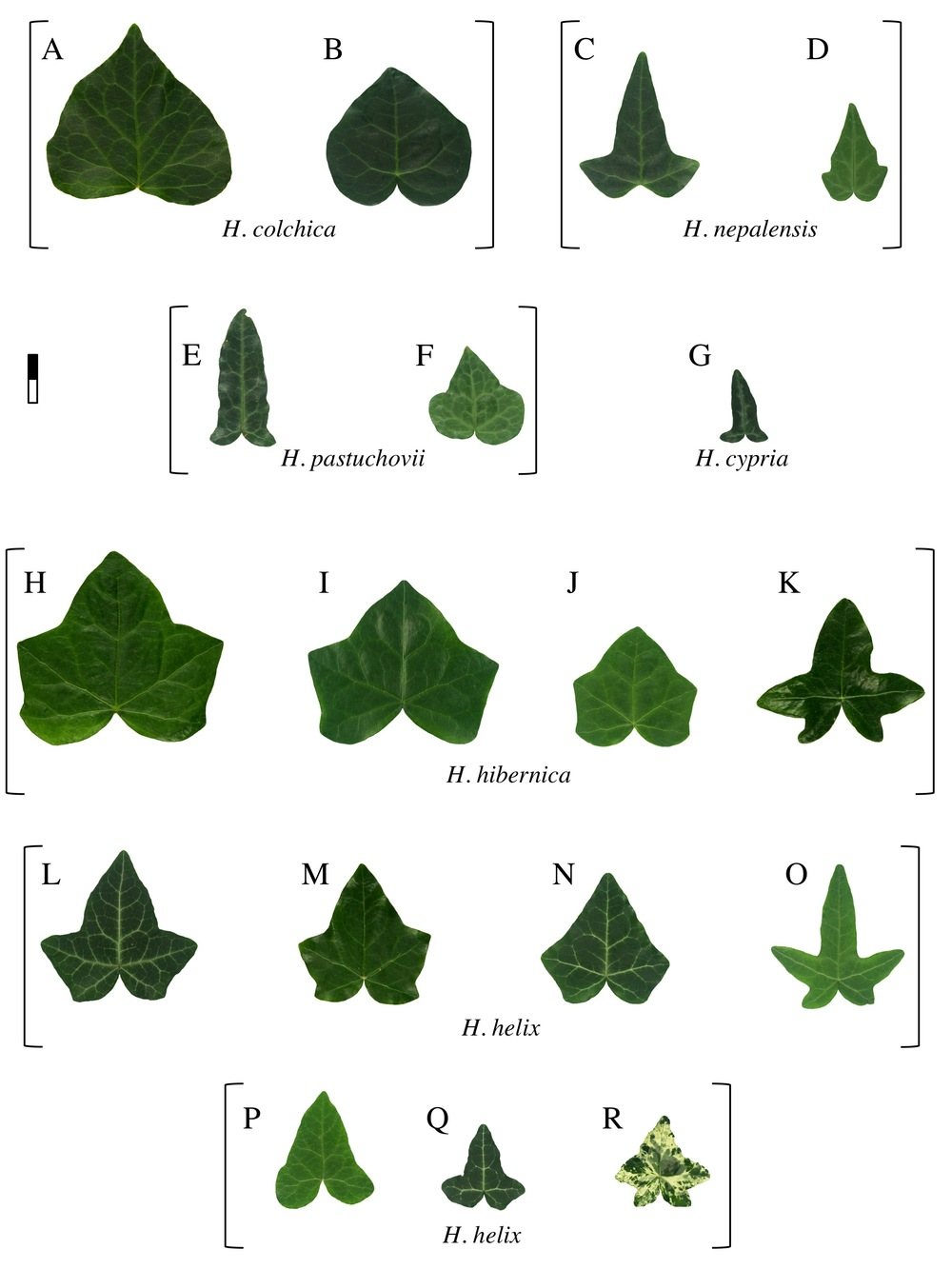 Ivy leaf morphology, plate 2