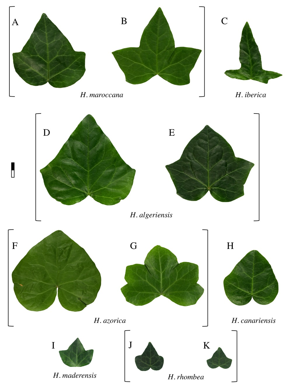Ivy leaf morphology, plate 1