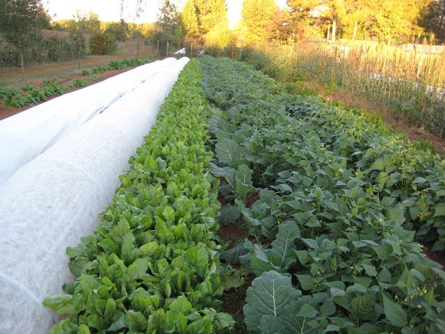 This is an example of our row crops including beets, collards, and beans.