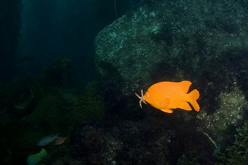 "Garibaldi: pez marino ""símbolo"" de California"