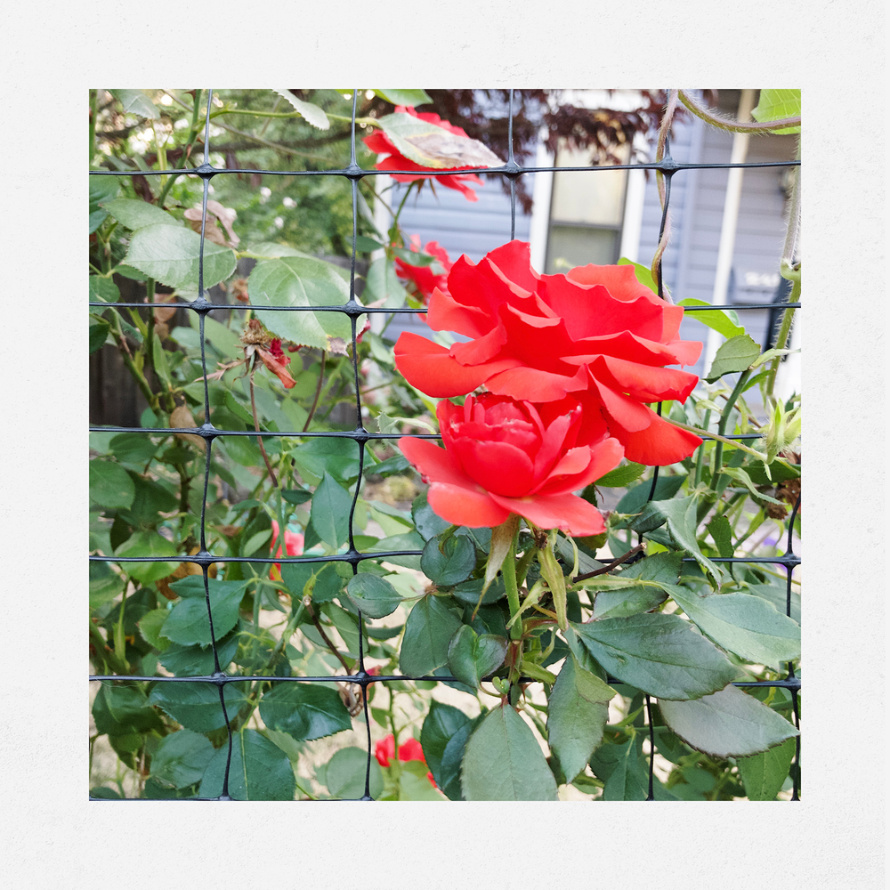 common objects - red roses