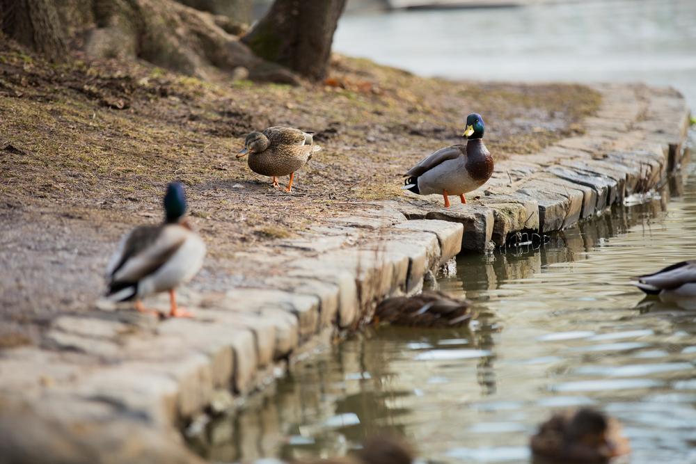 Ducks10