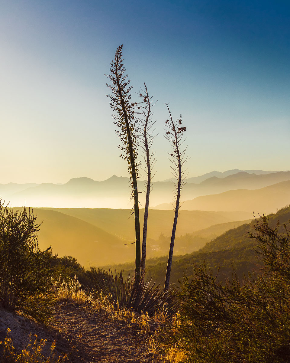 Agave plant sunrise, southern California, Pacific Crest Trail; 2018.