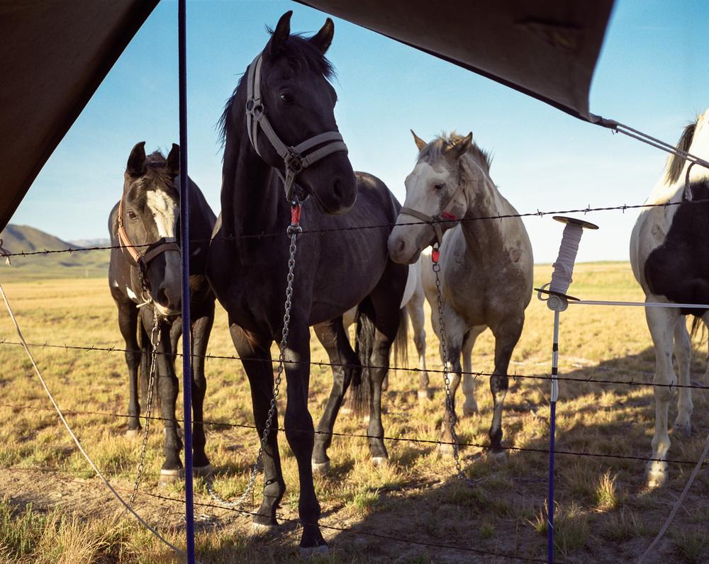 Horses  © Adrain Chesser