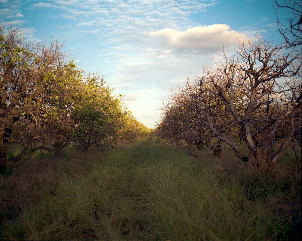 Dying Orange Grove  © Adrain Chesser