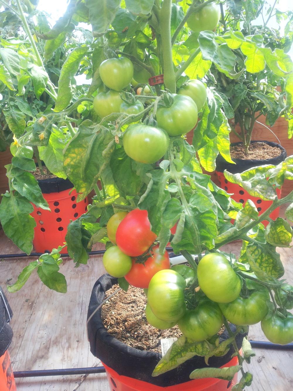 ripe tomatoes 072214.jpg