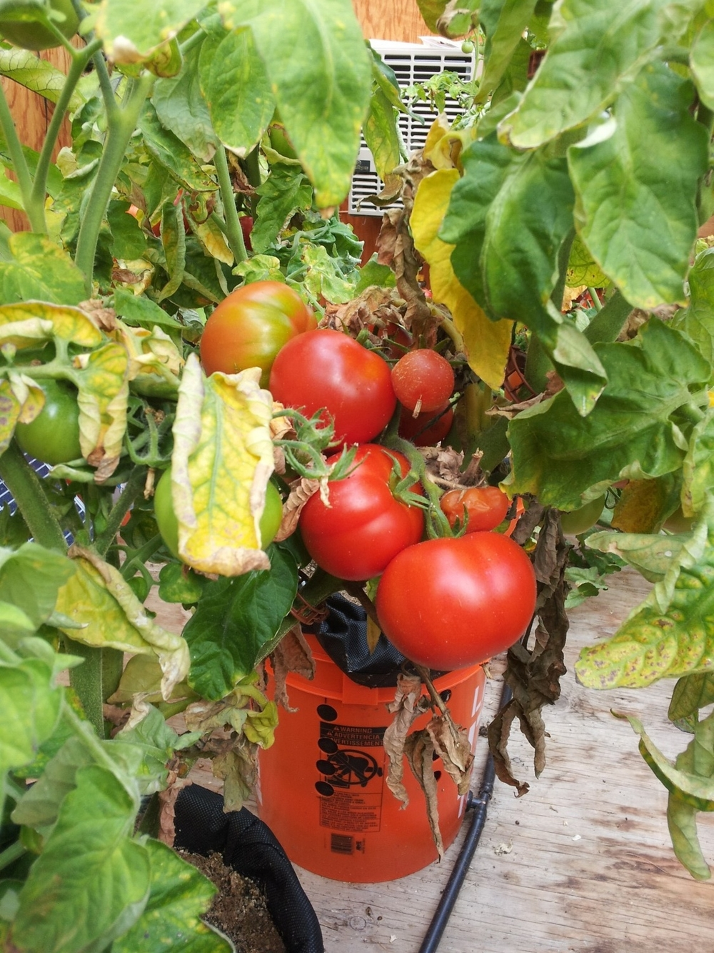ripe agb tomatoes.jpg