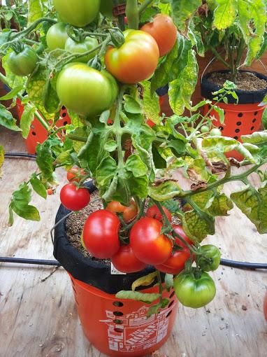 AGB Tomatoes.jpg