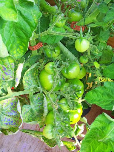 Tomato 3 071814.jpg