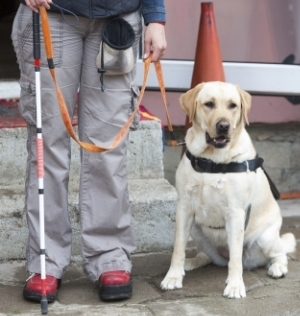 This is a classic service dog situation where a dog guide provides dedicated assistance to a person who is sight-impaired.