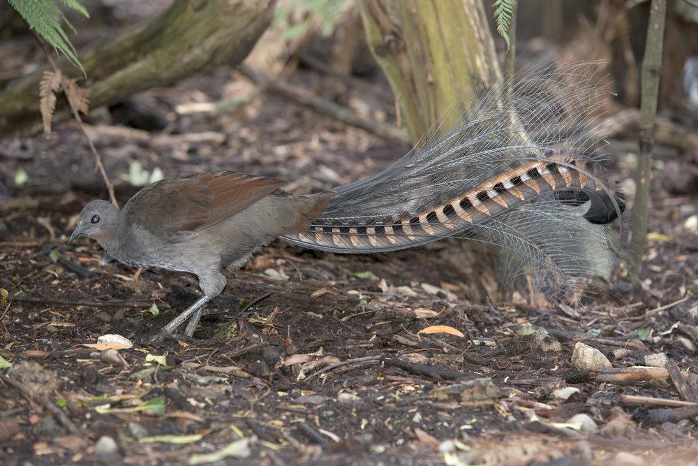 The elusive and elegant Lyrebird