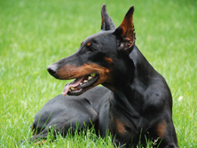 Bootcamp & Dayschool dog training programs, image of doberman dog