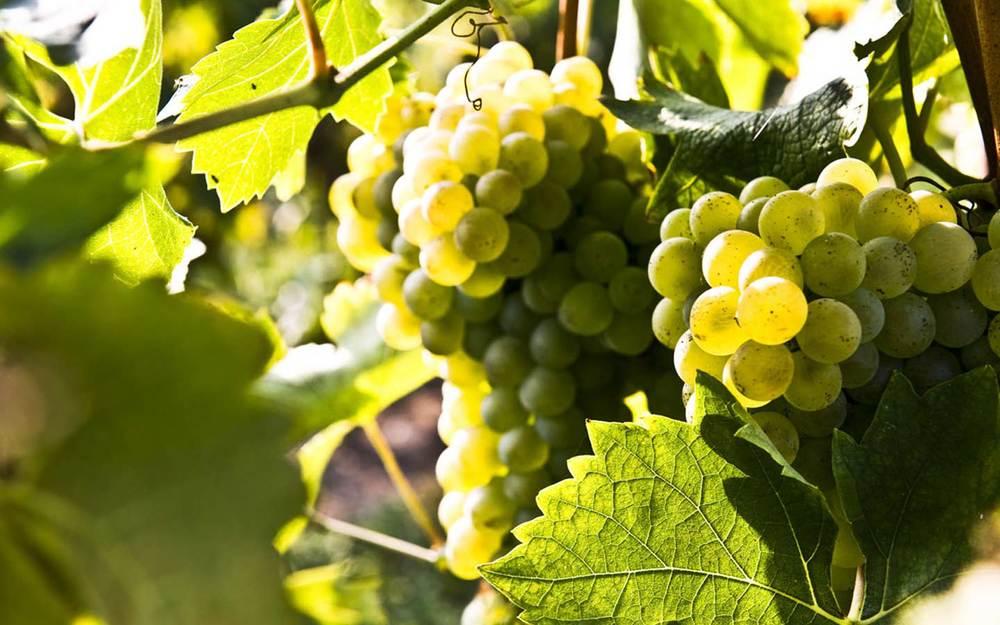 Turbiana   un'uva nobile dalle caratteristiche uniche