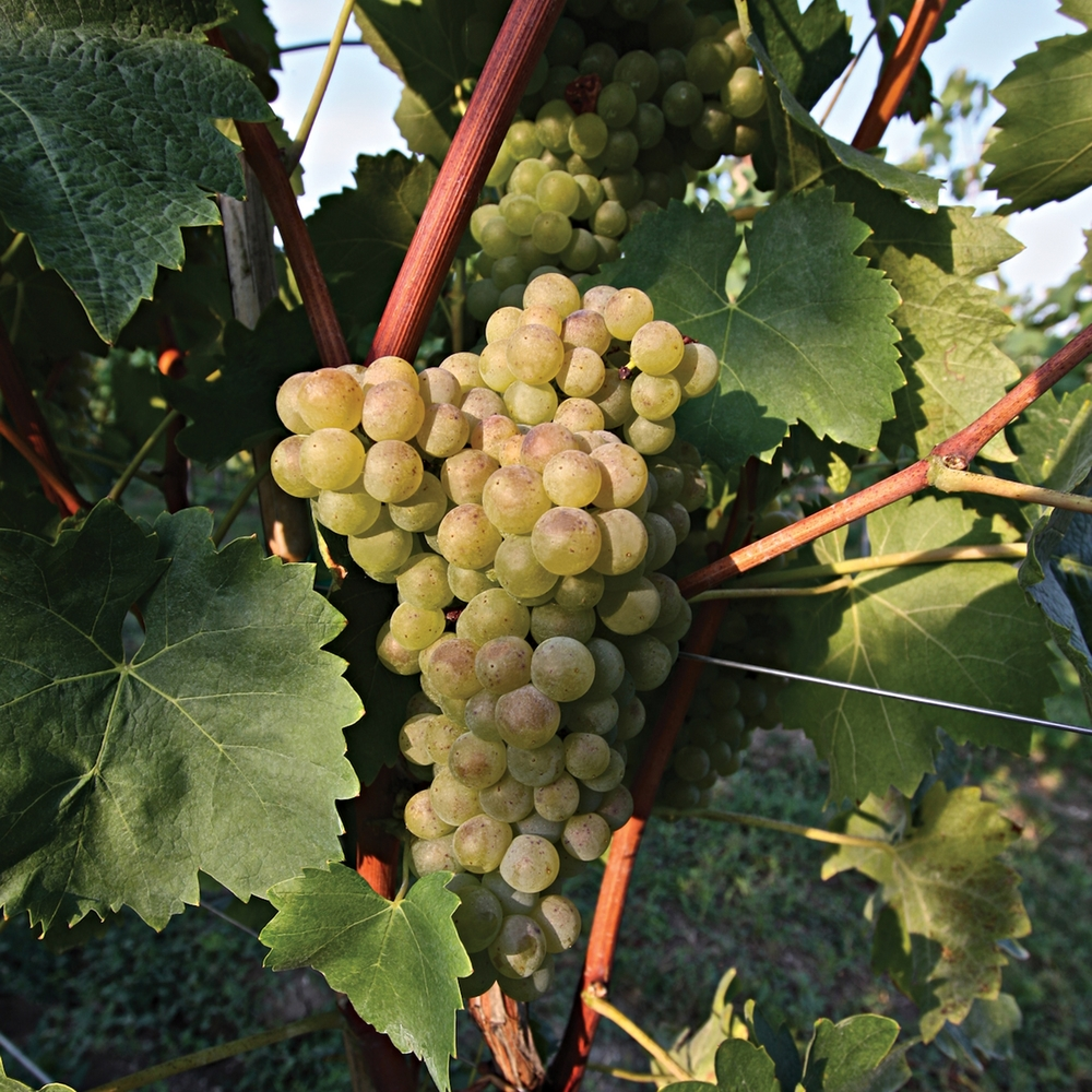 Turbiana grapes