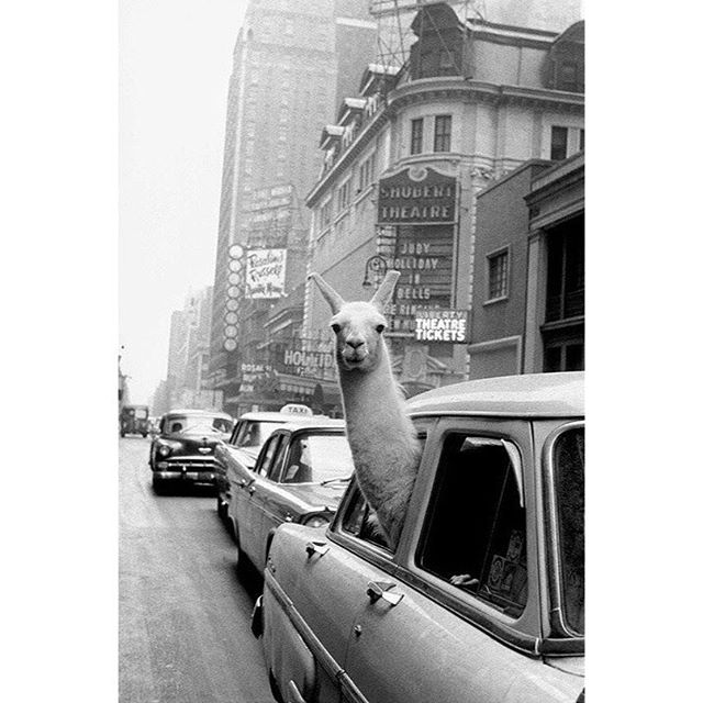 🦙current mood🦙  A Llama in Times Square. New York. 1957.  Linda the Llama, photographed by Inge Morath for Life magazine. Magnum Photos.  #llama #photo #photography #blackandwhitephotography #ingemorath #magnumphotos #fibre #fibreanimals #newyork #timessquare #timesquarenyc #lindathellama