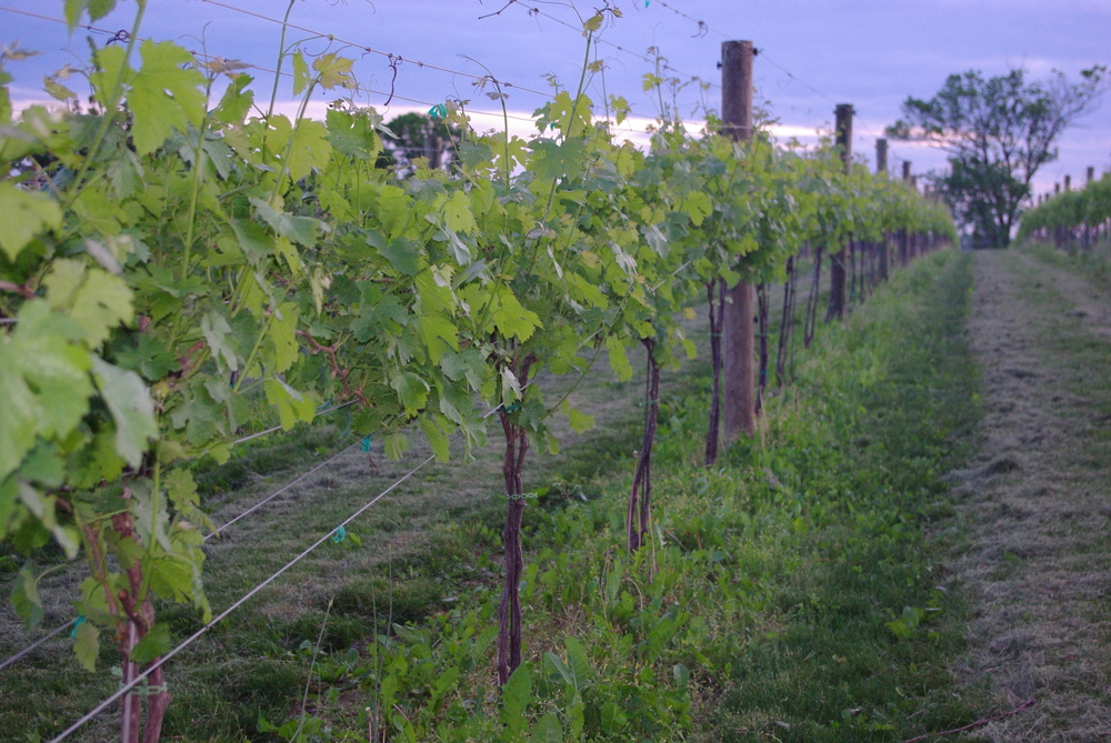 young Cab Vines 2010.JPG