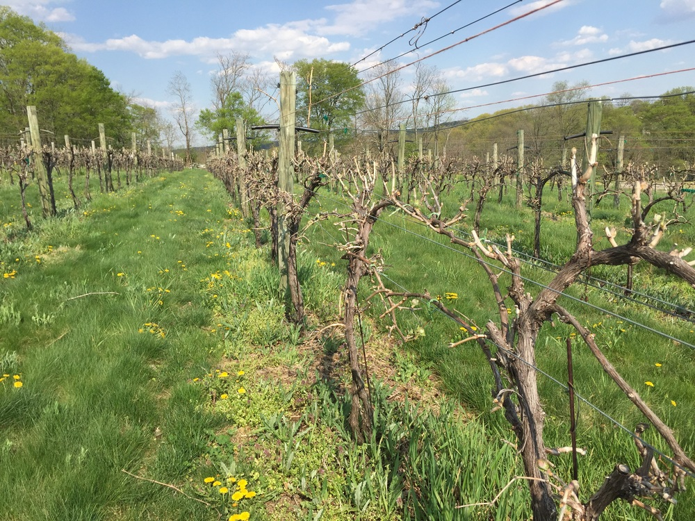 A view down the row after budbreak.