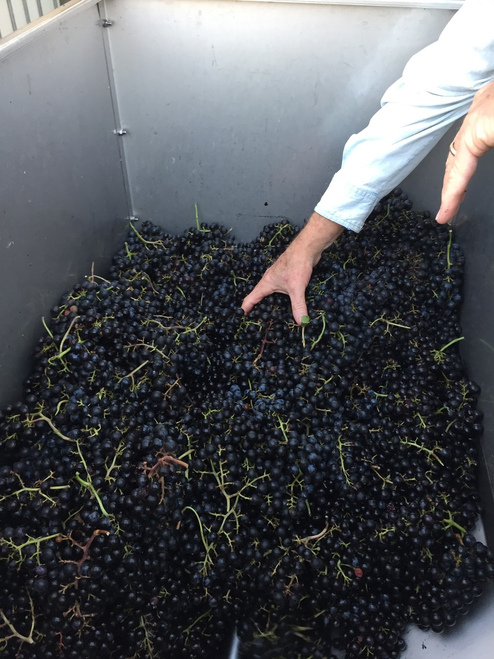 Fresh picked Cab Franc in the crusher/destemmer