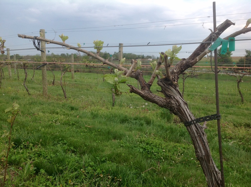 Chardonnay buds just starting to break at Cassel Vineyards of Hershey.