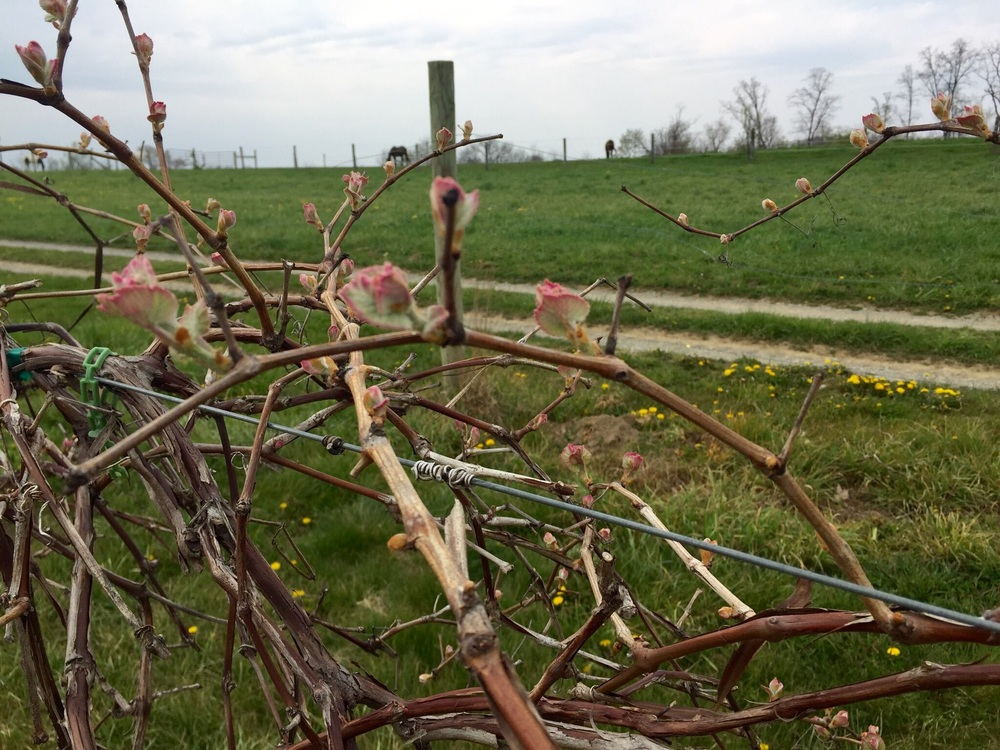 Concord bud break at Cassel Vineyards