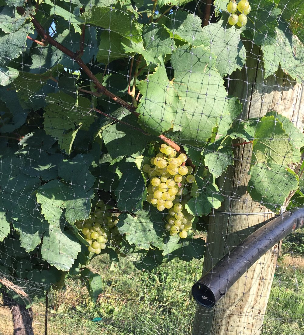 Chardonnay grapes on the verge of being ripe.