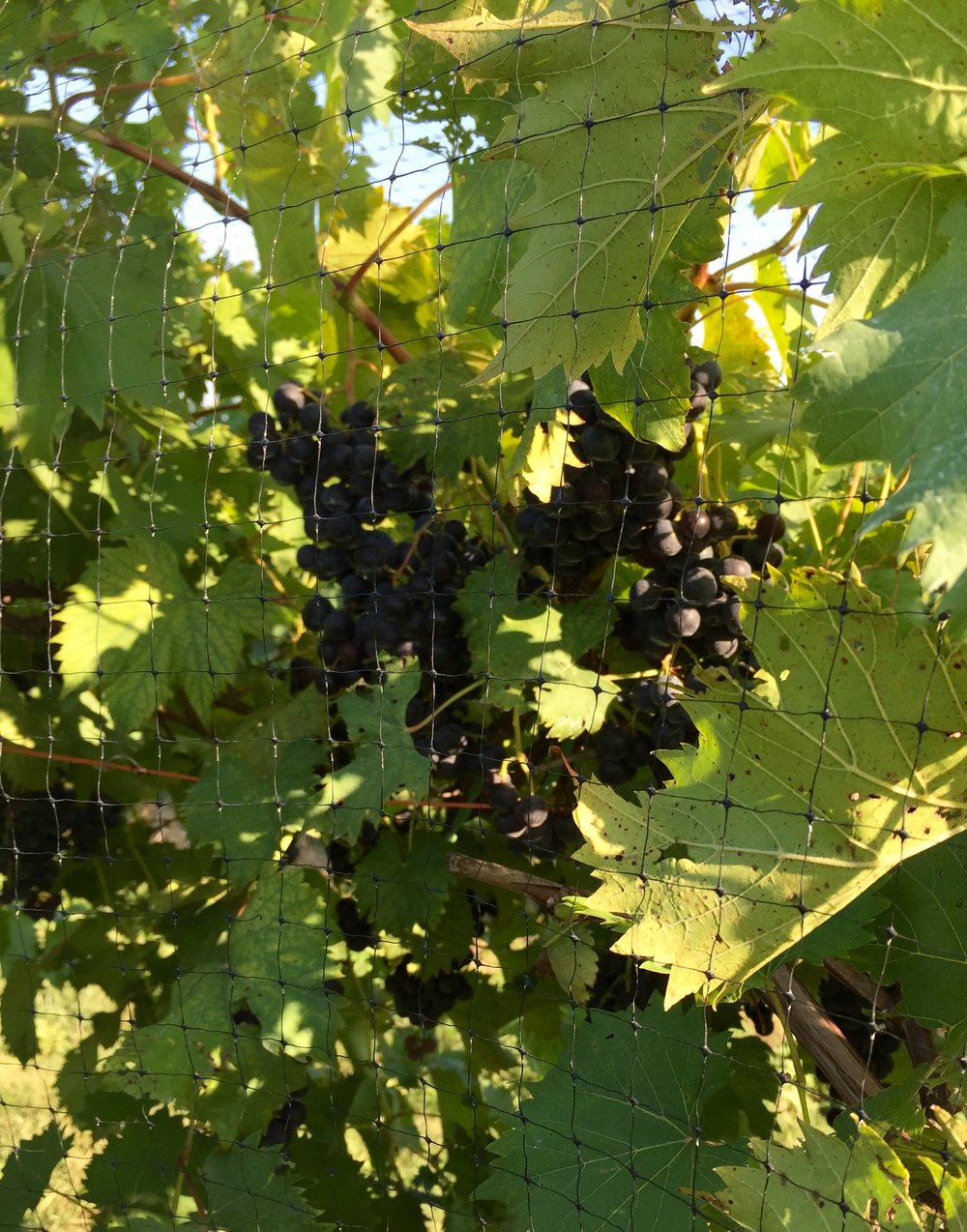 Chambourcin grapes as they ripen.