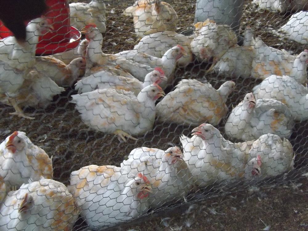 sapen - poulets marques pour la vente.jpg