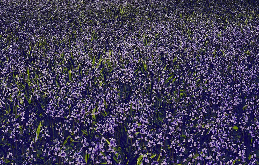 RALPH_SMITH_TEST0509131_BLUEBELL_01_w.jpg
