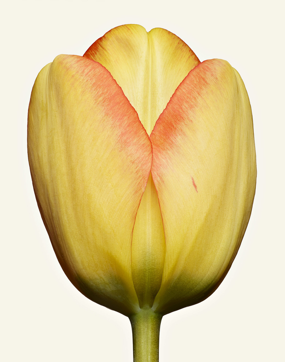 Ralph_Smith_TEST0502131_TULIP_CLOSE_01_01_w.jpg