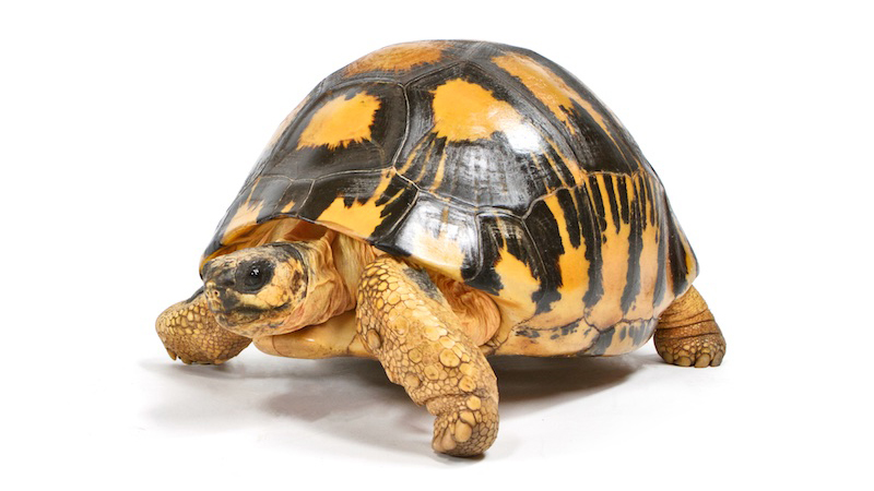 Radiated Tortoise Membership