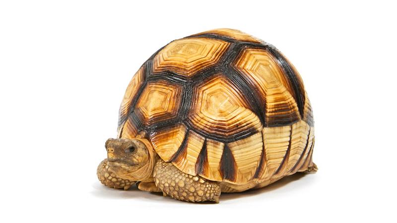 Ploughshare Tortoise Membership