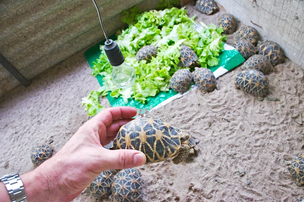 Confiscated Indian Star Tortoises in government-run wildlife facility outside of Bangkok, Thailand