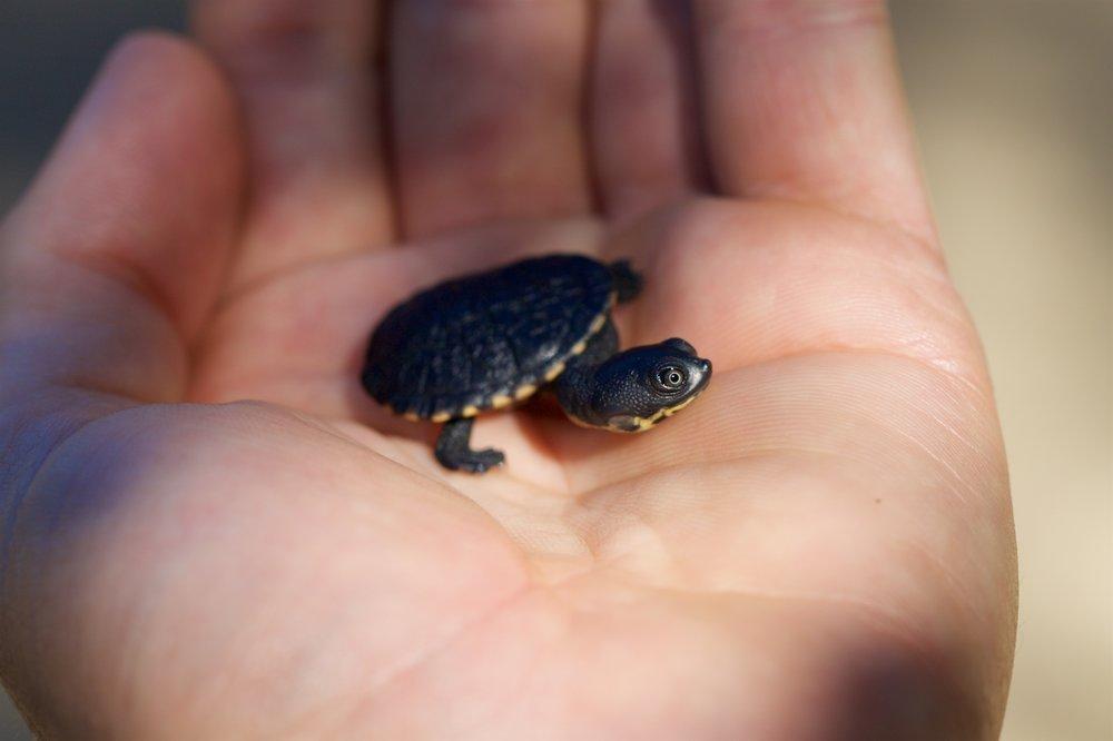 Roti Island Snake-neck Turtle