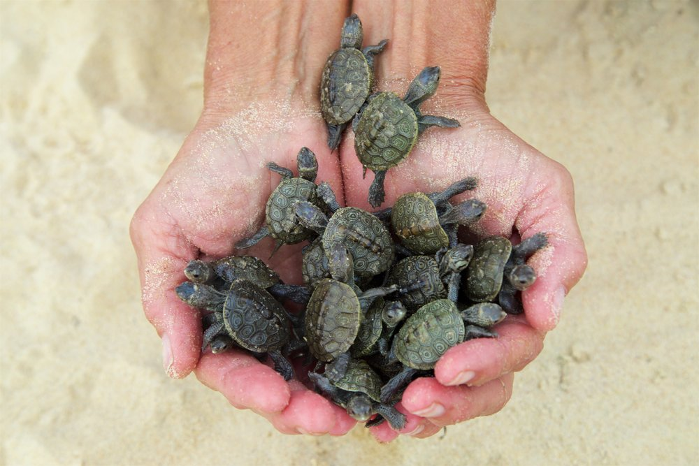 Terrapin Nesting Project