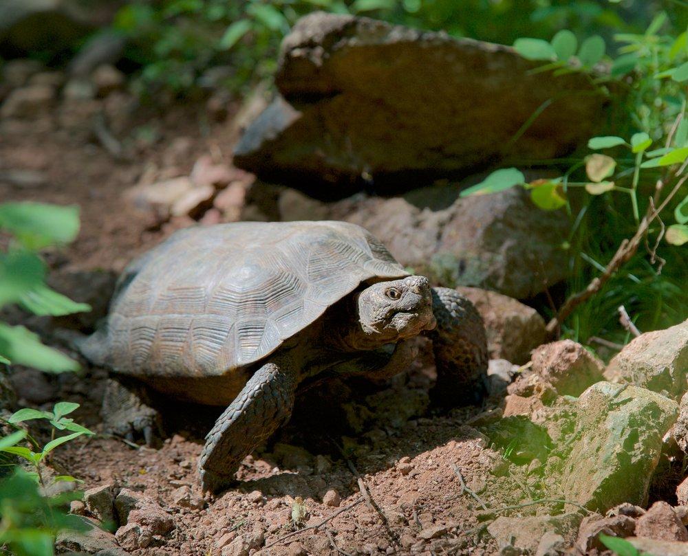 Goode's Thornscrub Tortoise (Gopherus evgoodei)
