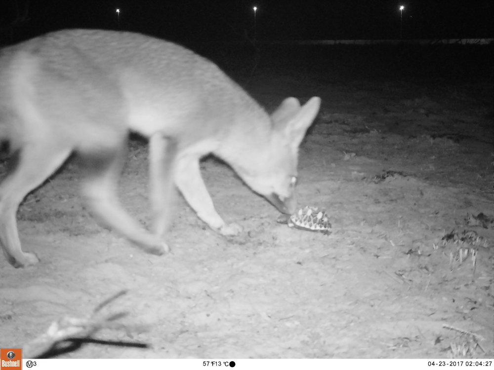 Camera trap photo: Cape Fox sniffing the Geometric Tortoise decoy.