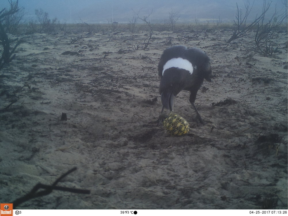 Camera trap photo: Pied Crow attacking our Geometric Tortoise decoy.