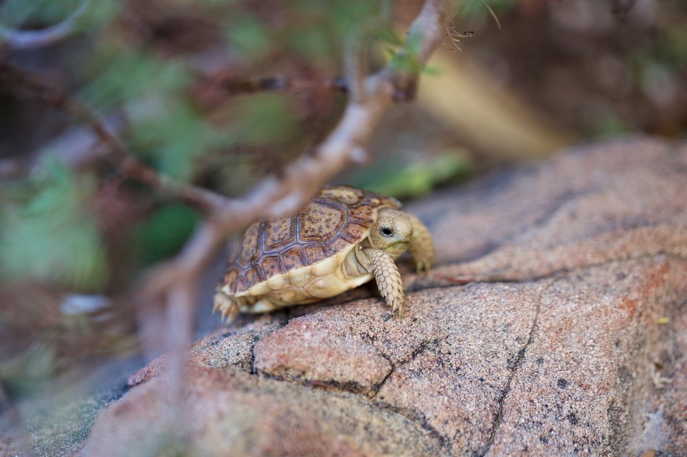Homopus areolatus  commonly known as the common padloper or parrot-beaked tortoise, is a tiny species of tortoise of the  Homopus  genus, indigenous to the southern part of South Africa.