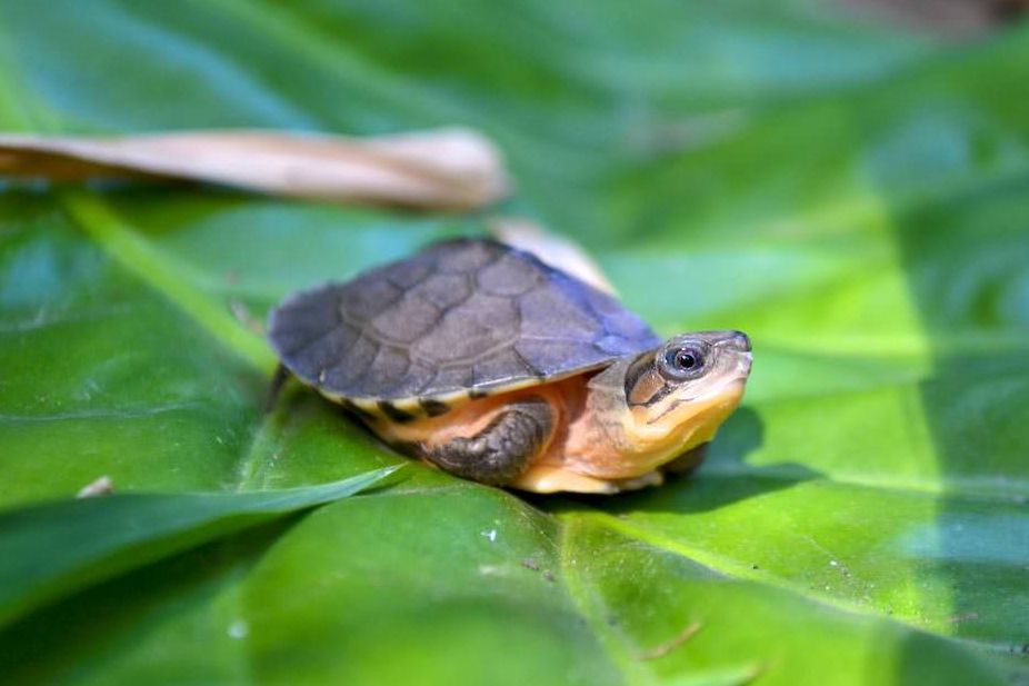 HONG KONG - First reintroduction of turtles born in the US sent back home to Hong Kong