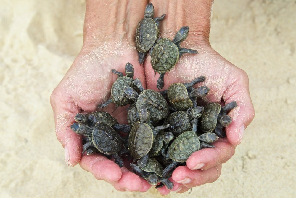 NEW JERSEY - Over 2,000 hatchling Diamondback Terrapins released into salt marshes of New Jersey