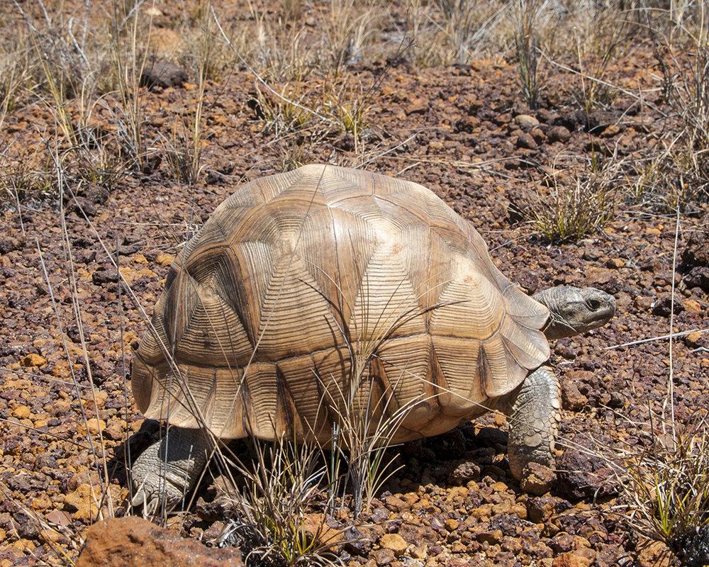 2 Ploughshare Tortoise.jpg