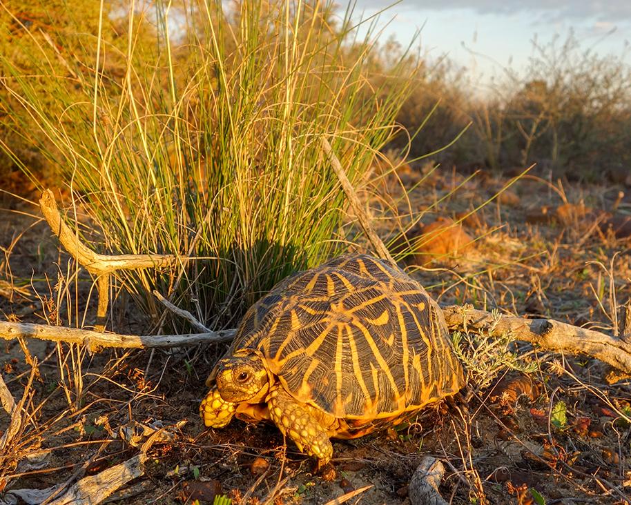 8 Geometric Tortoise.jpg